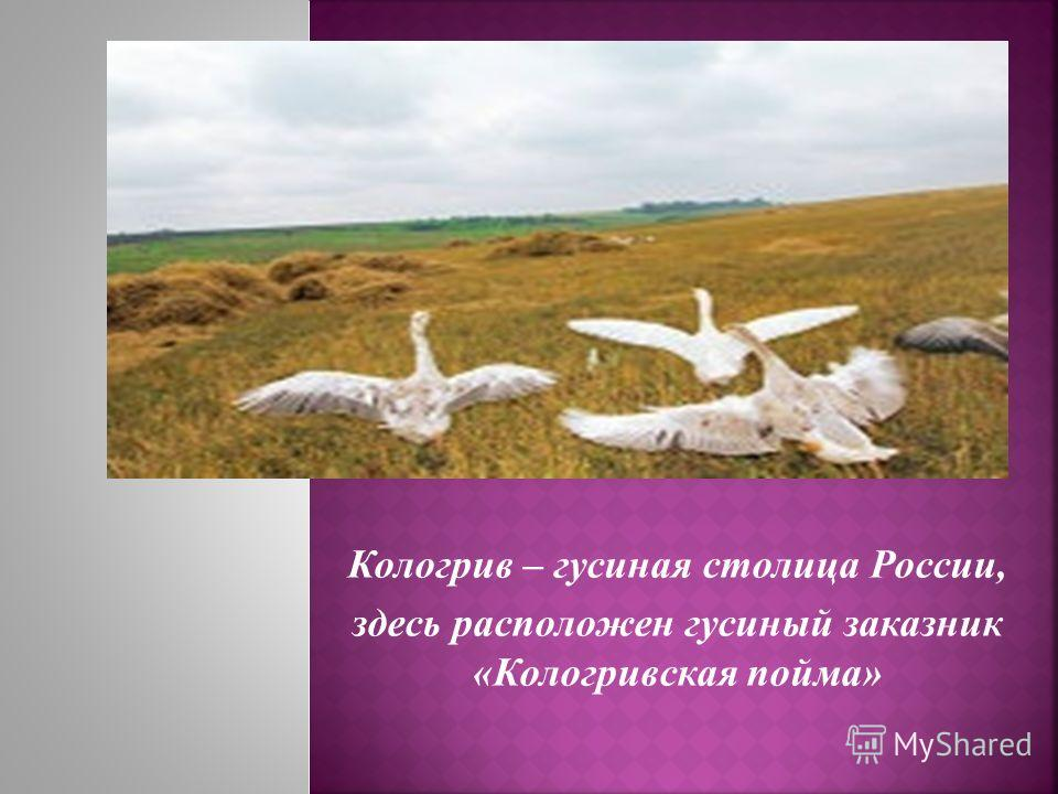Кологрив – гусиная столица России, здесь расположен гусиный заказник «Кологривская пойма»