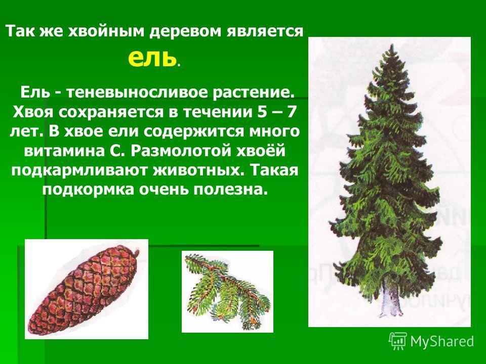 Так же хвойным деревом является ель. Ель - теневыносливое растение. Хвоя сохраняется в течении 5 – 7 лет. В хвое ели содержится много витамина C. Размолотой хвоёй подкармливают животных. Такая подкормка очень полезна.