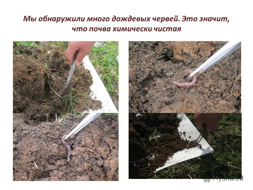 Мы обнаружили много дождевых червей. Это значит, что почва химически чистая