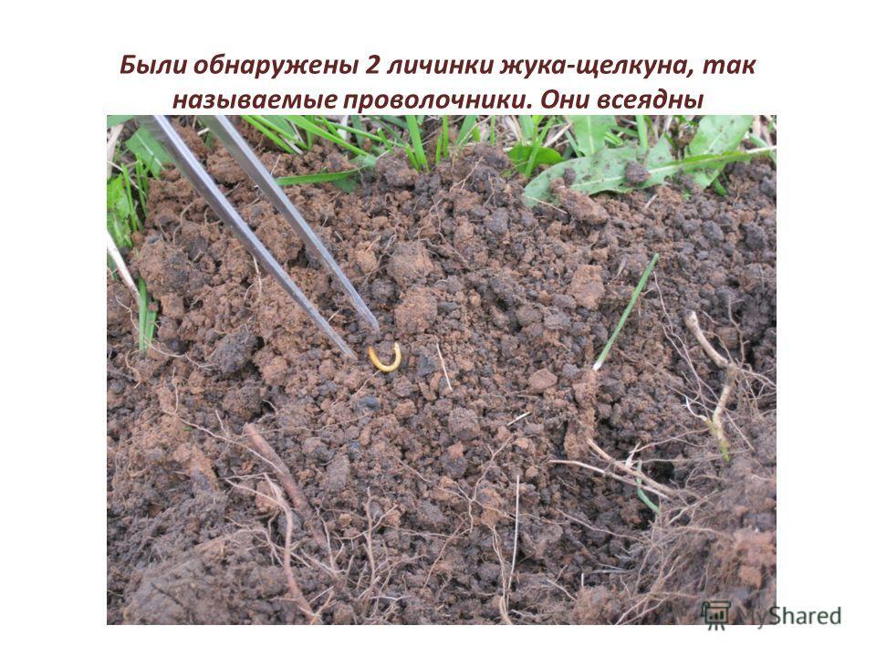 Были обнаружены 2 личинки жука-щелкуна, так называемые проволочники. Они всеядны