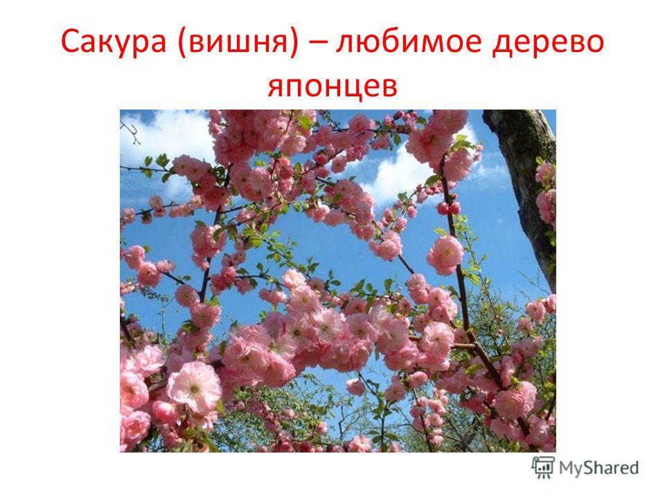 Сакура (вишня) – любимое дерево японцев