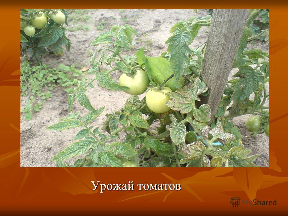 Урожай томатов Урожай томатов