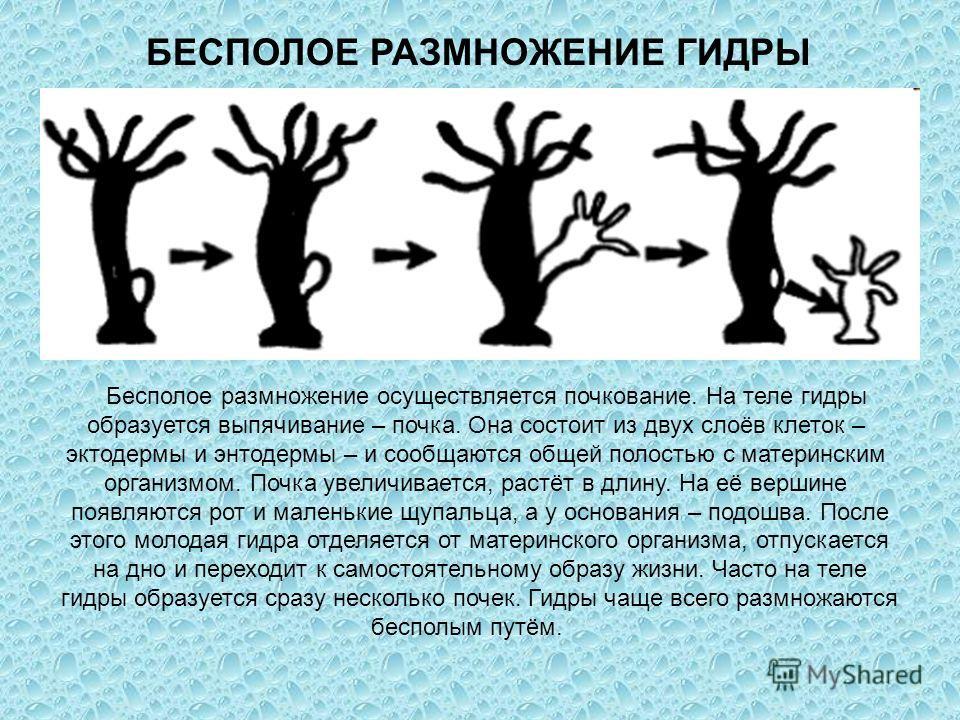 БЕСПОЛОЕ РАЗМНОЖЕНИЕ ГИДРЫ Бесполое размножение осуществляется почкование. На теле гидры образуется выпячивание – почка. Она состоит из двух слоёв клеток – эктодермы и энтодермы – и сообщаются общей полостью с материнским организмом. Почка увеличивае