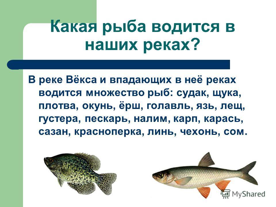 Какая рыба водится в наших реках? В реке Вёкса и впадающих в неё реках водится множество рыб: судак, щука, плотва, окунь, ёрш, голавль, язь, лещ, густера, пескарь, налим, карп, карась, сазан, красноперка, линь, чехонь, сом.