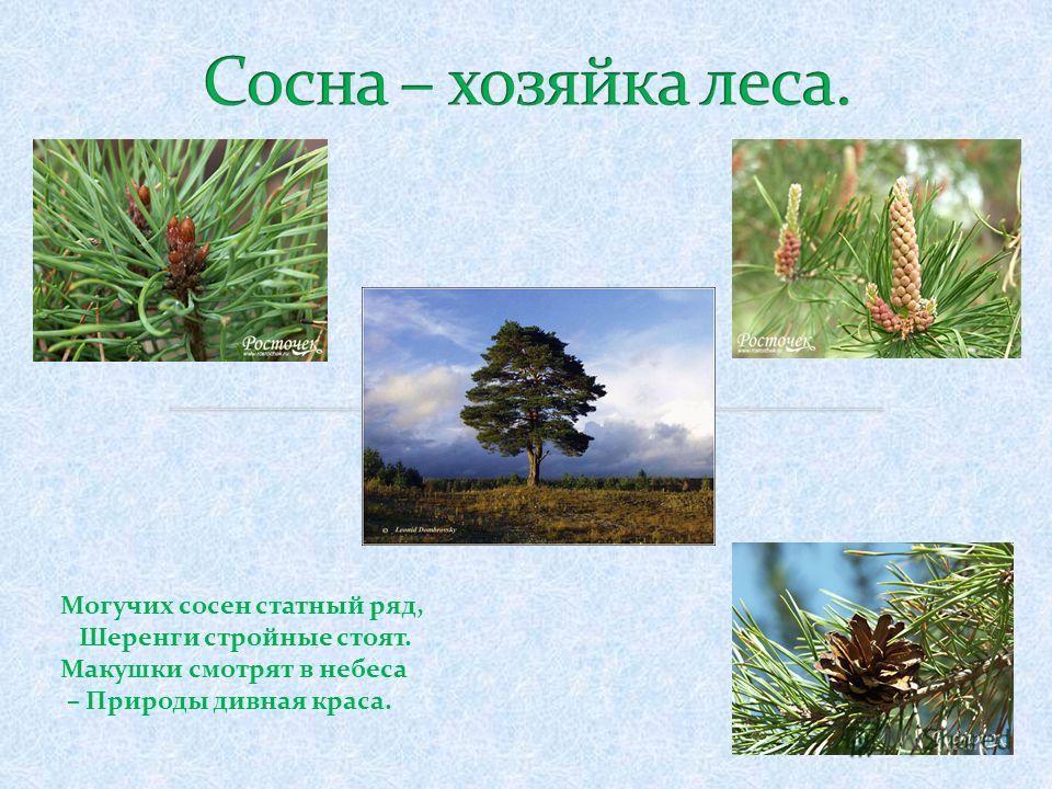 Могучих сосен статный ряд, Шеренги стройные стоят. Макушки смотрят в небеса – Природы дивная краса.