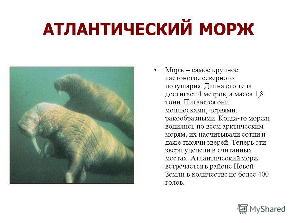 ЗУБР Когда-то зубр не был редким животным. Но люди вырубали леса, в которых жили эти звери, а на них самих постоянно охотились. И вот зубры стали редкими, а потом … потом они могли навсегда исчезнуть, но люди сумели спасти их. Много лет ученые нашей