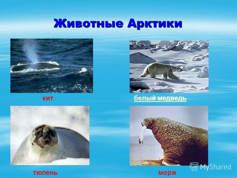 Животные Арктики китбелый медведь тюленьморж