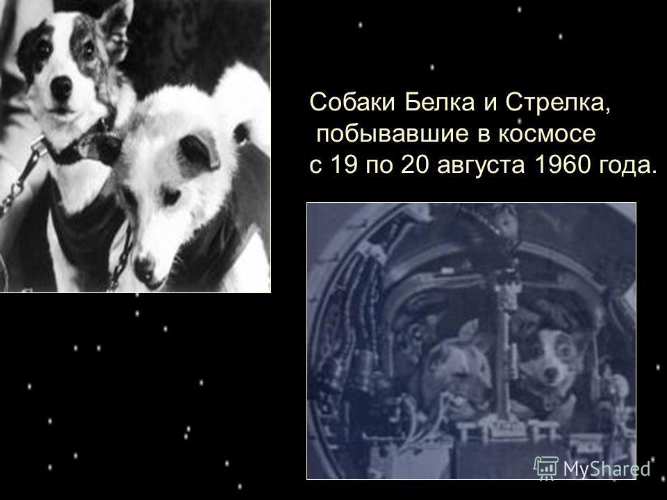 Собаки Белка и Стрелка, побывавшие в космосе с 19 по 20 августа 1960 года.