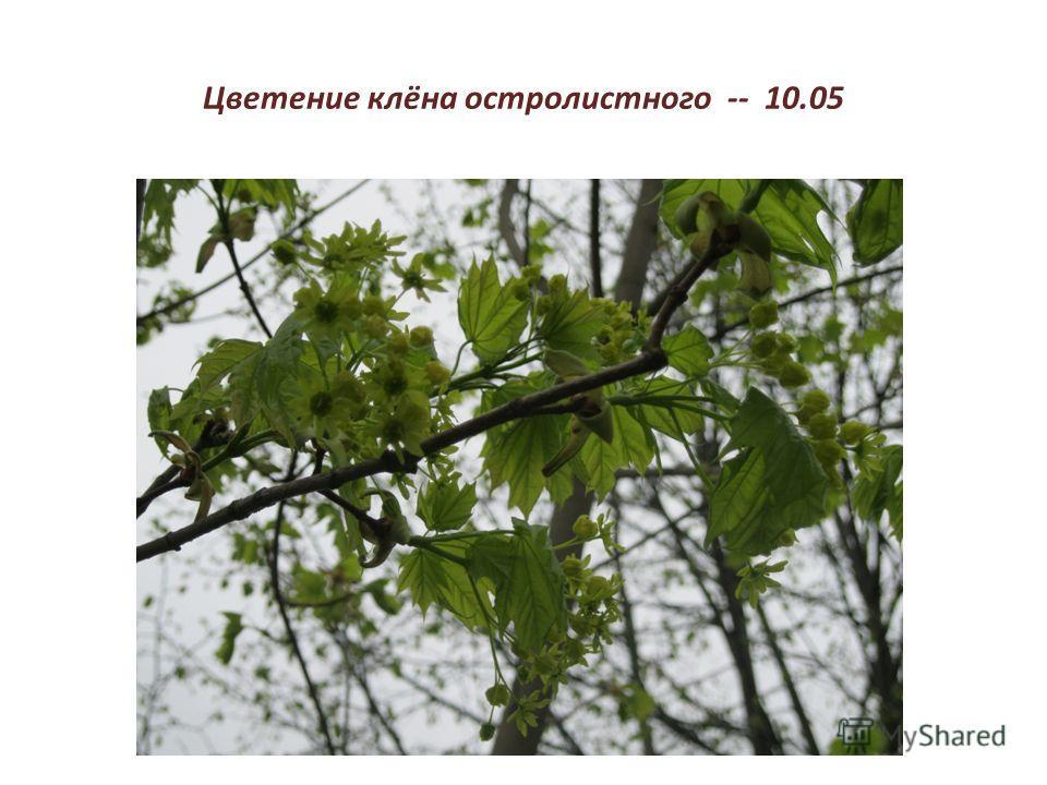 Цветение клёна остролистного -- 10.05