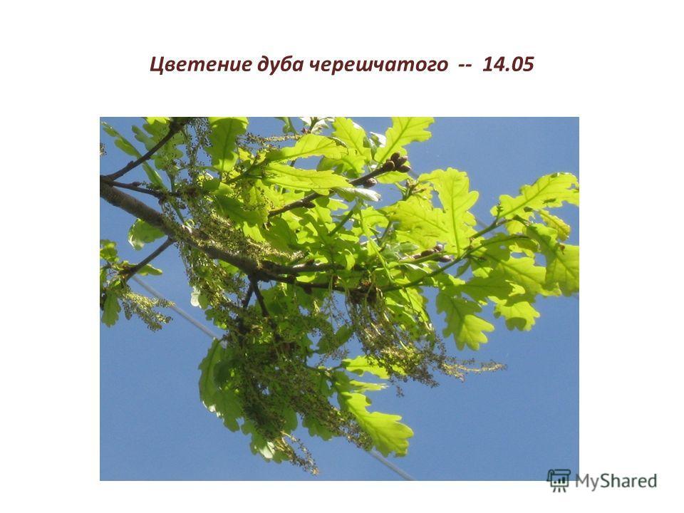 Цветение дуба черешчатого -- 14.05