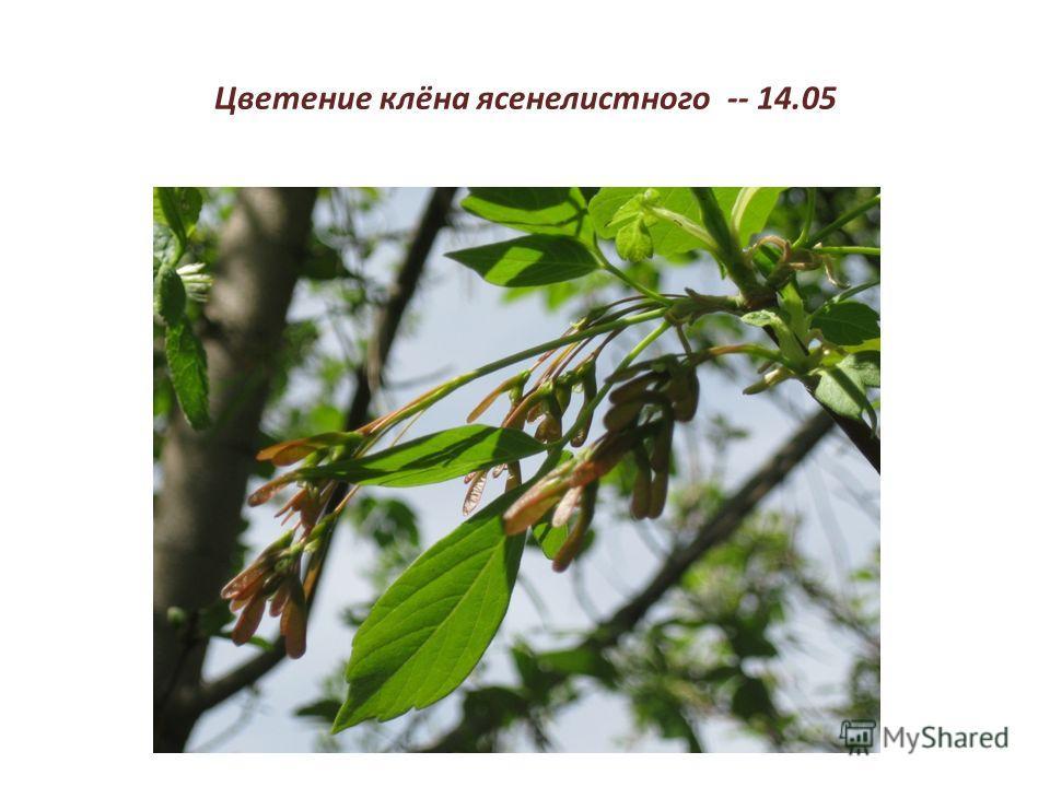 Цветение клёна ясенелистного -- 14.05