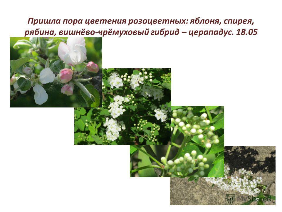 Пришла пора цветения розоцветных: яблоня, спирея, рябина, вишнёво-чрёмуховый гибрид – церападус. 18.05