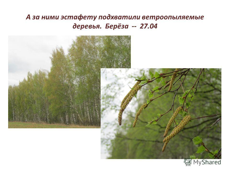 А за ними эстафету подхватили ветроопыляемые деревья. Берёза -- 27.04