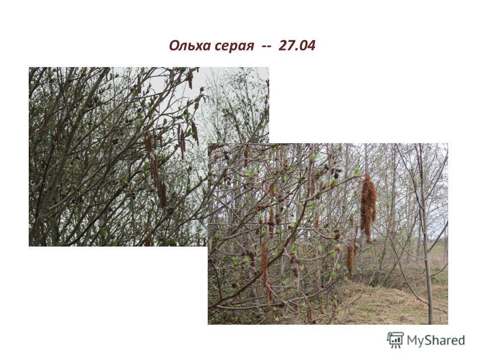 Ольха серая -- 27.04