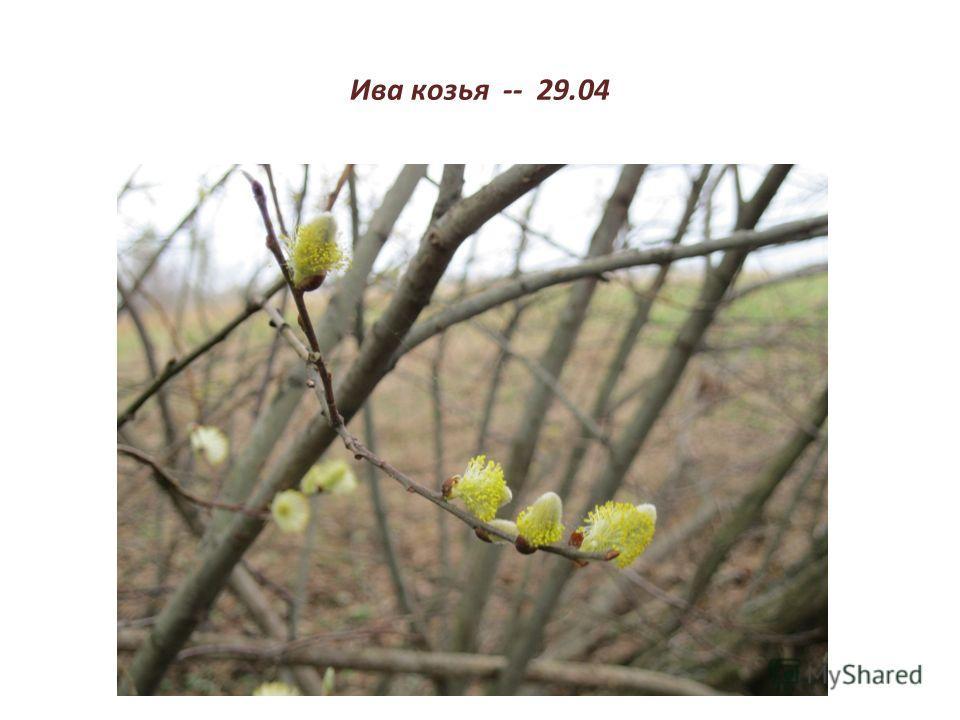 Ива козья -- 29.04