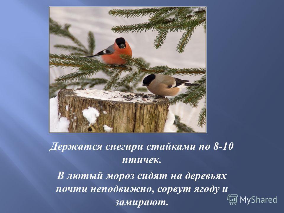 Держатся снегири стайками по 8-10 птичек. В лютый мороз сидят на деревьях почти неподвижно, сорвут ягоду и замирают.