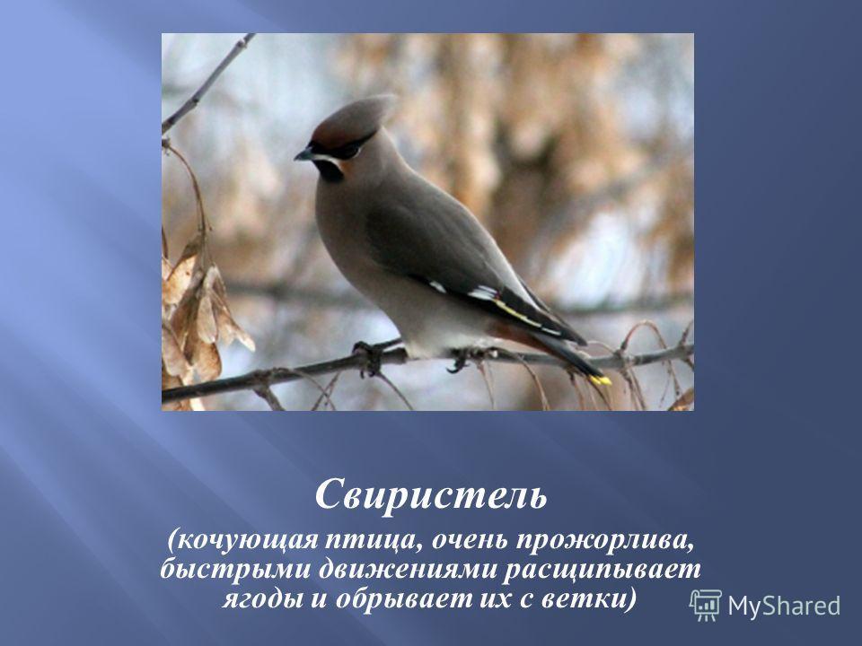 Свиристель ( кочующая птица, очень прожорлива, быстрыми движениями расщипывает ягоды и обрывает их с ветки )
