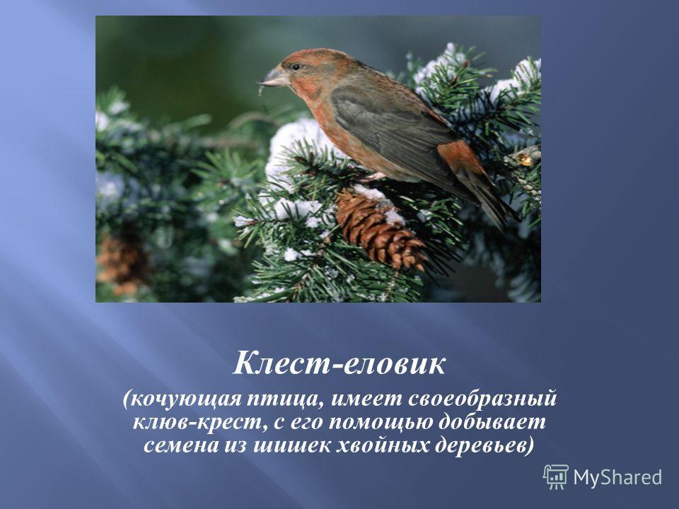 Клест - еловик ( кочующая птица, имеет своеобразный клюв - крест, с его помощью добывает семена из шишек хвойных деревьев )