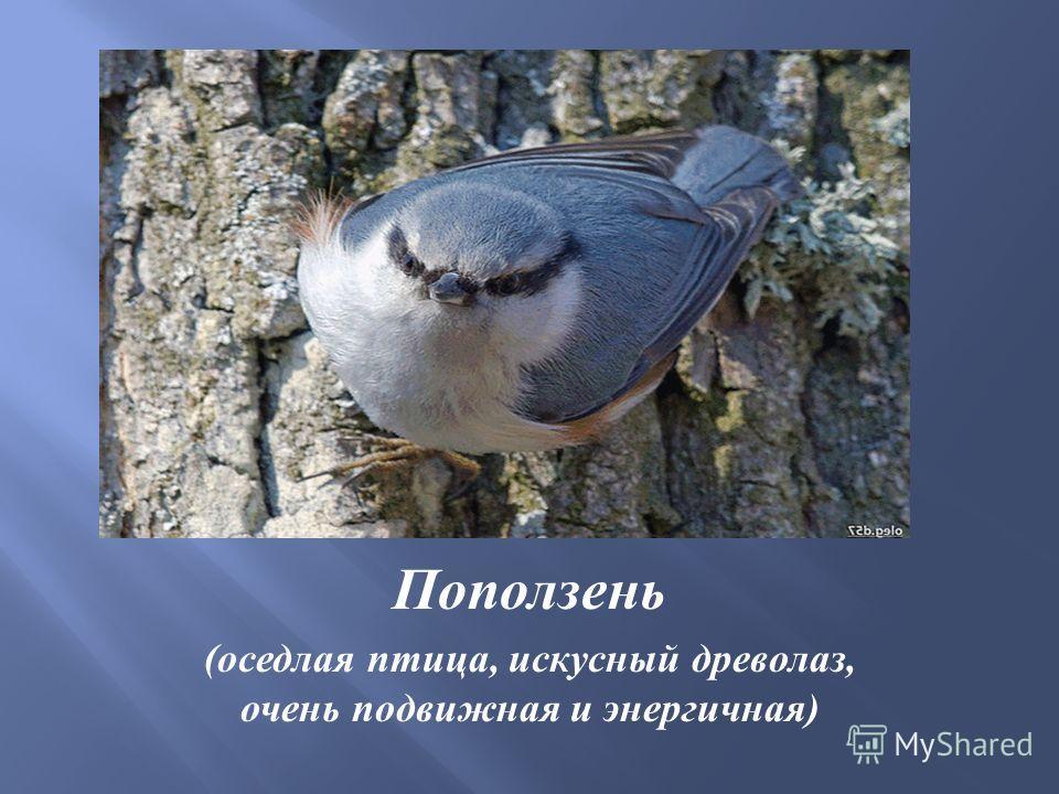 Поползень ( оседлая птица, искусный древолаз, очень подвижная и энергичная )