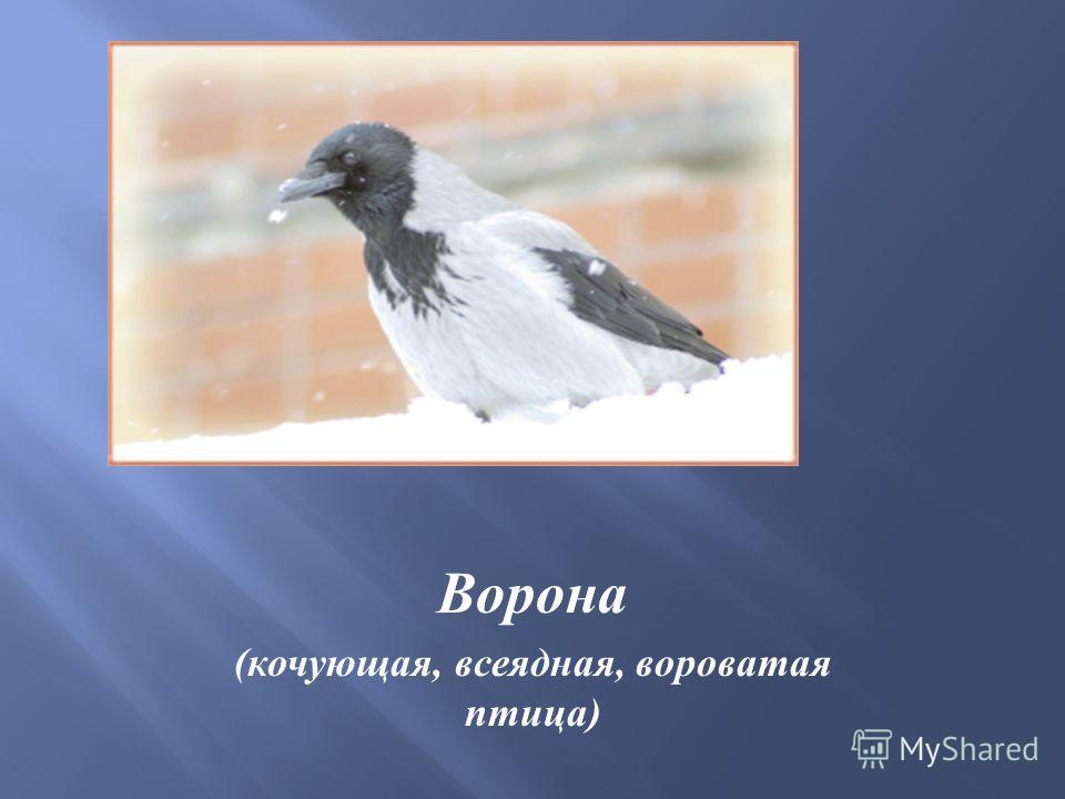 Ворона ( кочующая, всеядная, вороватая птица )