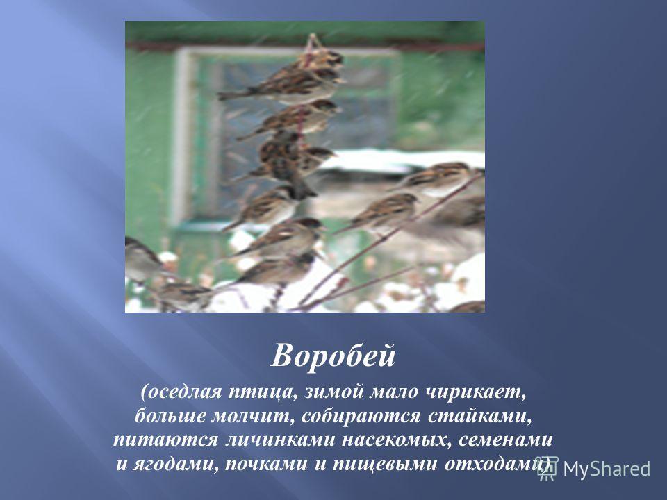 Воробей ( оседлая птица, зимой мало чирикает, больше молчит, собираются стайками, питаются личинками насекомых, семенами и ягодами, почками и пищевыми отходами )