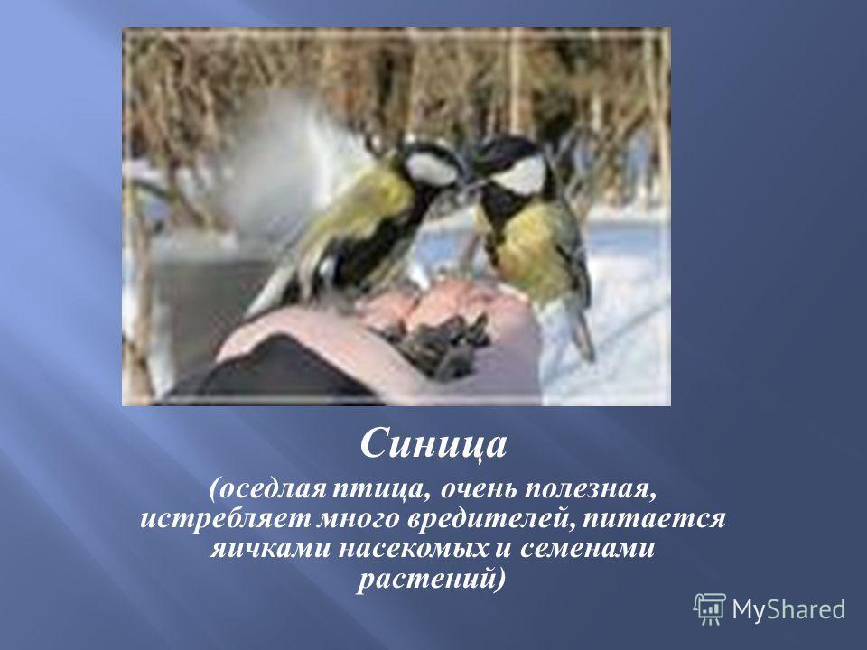 Синица ( оседлая птица, очень полезная, истребляет много вредителей, питается яичками насекомых и семенами растений )