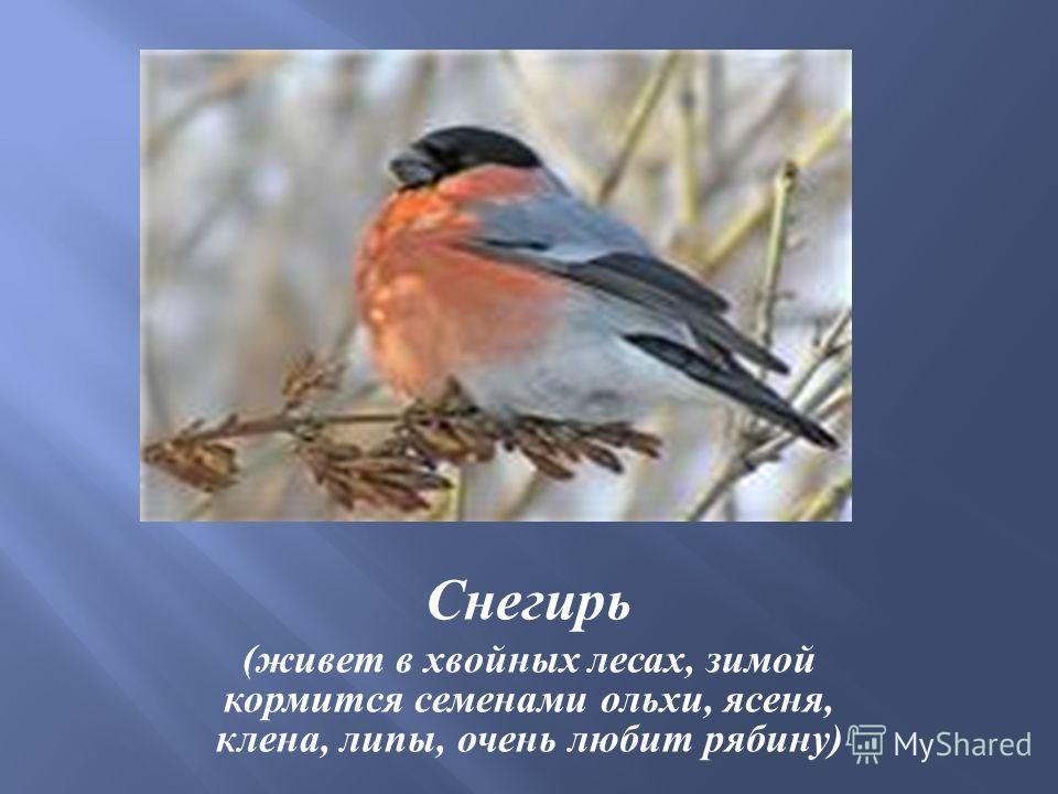 Снегирь ( живет в хвойных лесах, зимой кормится семенами ольхи, ясеня, клена, липы, очень любит рябину )