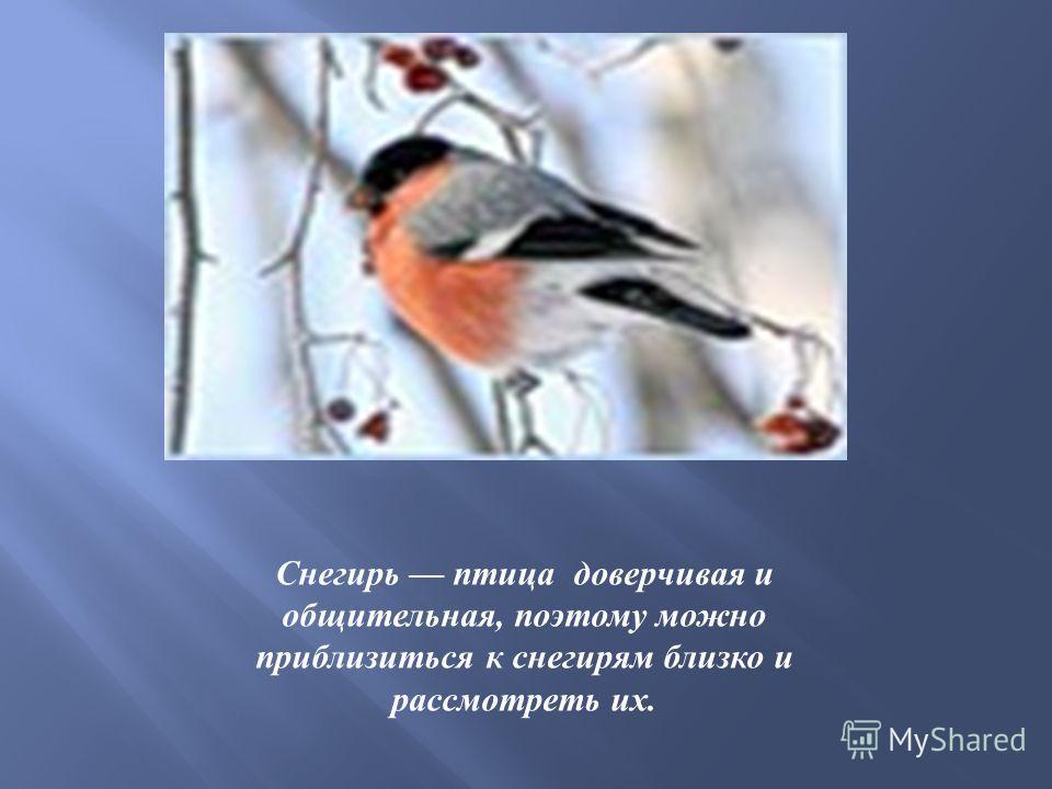 Снегирь птица доверчивая и общительная, поэтому можно приблизиться к снегирям близко и рассмотреть их.
