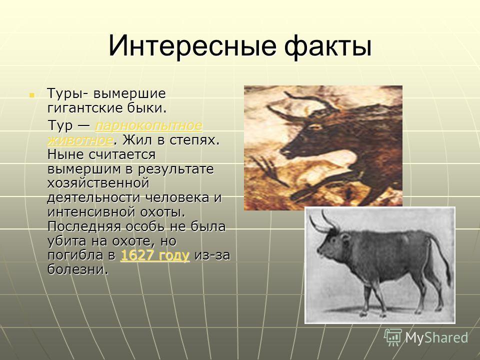Интересные факты Туры- вымершие гигантские быки. Туры- вымершие гигантские быки. Тур парнокопытное животное. Жил в степях. Ныне считается вымершим в результате хозяйственной деятельности человека и интенсивной охоты. Последняя особь не была убита на