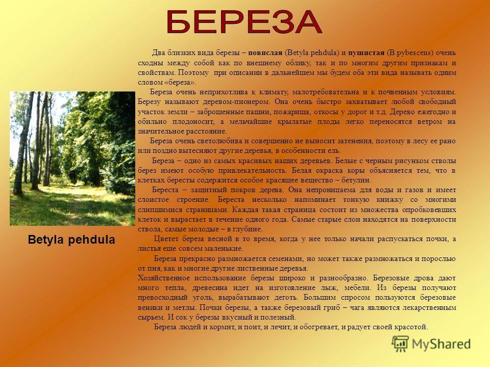Два близких вида березы – повислая (Betyla pehdula) и пушистая (B.pybescens) очень сходны между собой как по внешнему облику, так и по многим другим признакам и свойствам. Поэтому при описании в дальнейшем мы будем оба эти вида называть одним словом