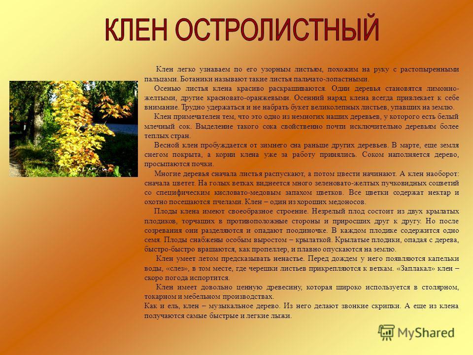 Клен легко узнаваем по его узорным листьям, похожим на руку с растопыренными пальцами. Ботаники называют такие листья пальчато-лопастными. Осенью листья клена красиво раскрашиваются. Одни деревья становятся лимонно- желтыми, другие красновато-оранжев