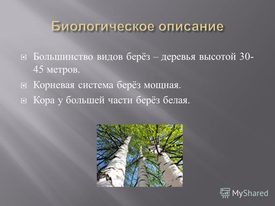 Большинство видов берёз – деревья высотой 30- 45 метров. Корневая система берёз мощная. Кора у большей части берёз белая.