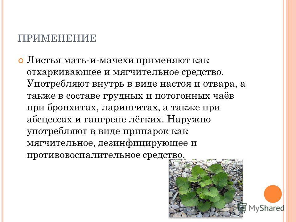 ПРИМЕНЕНИЕ Листья мать-и-мачехи применяют как отхаркивающее и мягчительное средство. Употребляют внутрь в виде настоя и отвара, а также в составе грудных и потогонных чаёв при бронхитах, ларингитах, а также при абсцессах и гангрене лёгких. Наружно уп