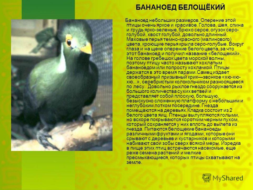БАНАНОЕД БЕЛОЩЁКИЙ Бананоед небольших размеров. Оперение этой птицы очень яркое и красивое. Голова, шея, спина и грудь ярко-зеленые, брюхо серое, огузок серо- голубой, хвост голубой, довольно длинный. Маховые перья темно-красного (малинового) цвета,