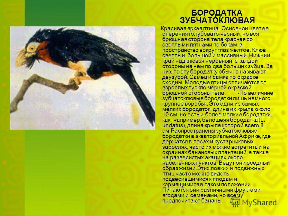 БОРОДАТКА ЗУБЧАТОКЛЮВАЯ Красивая яркая птица. Основной цвет ее оперения голубовато-черный, но вся брюшная сторона тела красная со светлыми пятнами по бокам, а пространство вокруг глаз желтое. Клюв светлый, большой и массивный. Нижний край надклювья н
