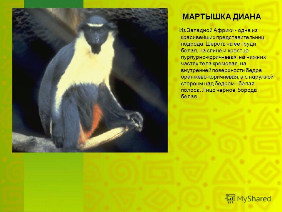 МАРТЫШКА ДИАНА Из Западной Африки - одна из красивейших представительниц подрода. Шерсть на ее груди белая, на спине и крестце пурпурно-коричневая, на нижних частях тела кремовая, на внутренней поверхности бедра оранжево-коричневая, а с наружной стор