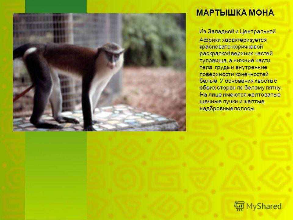 МАРТЫШКА МОНА Из Западной и Центральной Африки характеризуется красновато-коричневой раскраской верхних частей туловища, а нижние части тела, грудь и внутренние поверхности конечностей белые. У основания хвоста с обеих сторон по белому пятну. На лице