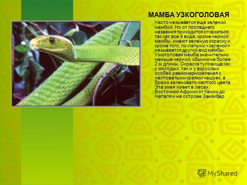МАМБА УЗКОГОЛОВАЯ Часто называется еще зеленой мамбой. Но от последнего названия приходится отказаться, так как все 4 вида, кроме черной мамбы, имеют зеленую окраску и, кроме того, по-латыни «зеленой» называется другой вид мамбы. Узкоголовая мамба зн