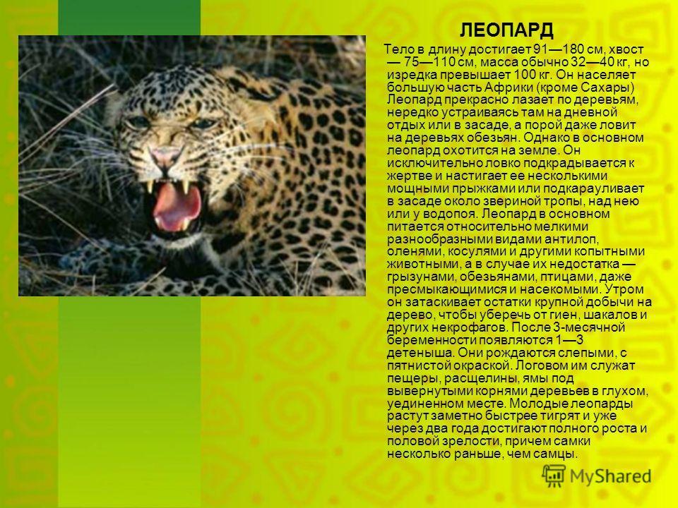 ЛЕОПАРД Тело в длину достигает 91180 см, хвост 75110 см, масса обычно 3240 кг, но изредка превышает 100 кг. Он населяет большую часть Африки (кроме Сахары) Леопард прекрасно лазает по деревьям, нередко устраиваясь там на дневной отдых или в засаде, а