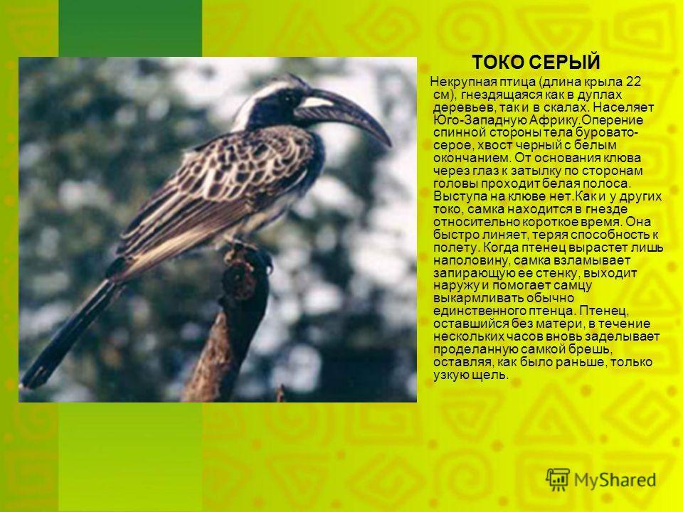 ТОКО СЕРЫЙ Некрупная птица (длина крыла 22 см), гнездящаяся как в дуплах деревьев, так и в скалах. Населяет Юго-Западную Африку.Оперение спинной стороны тела буровато- серое, хвост черный с белым окончанием. От основания клюва через глаз к затылку по