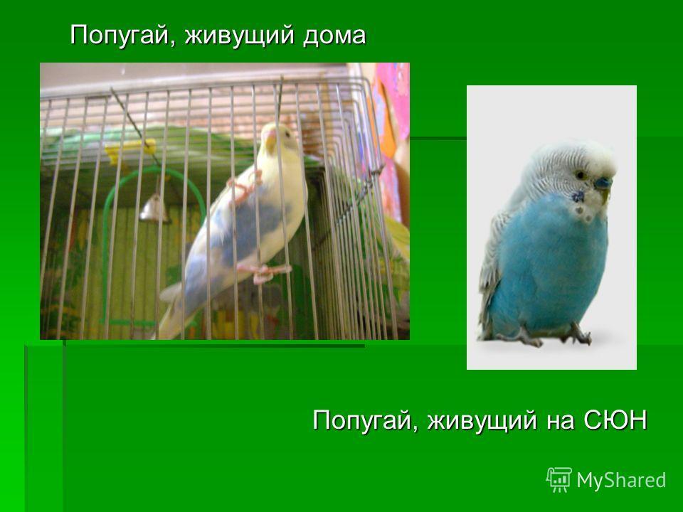 Попугай, живущий дома Попугай, живущий на СЮН Попугай, живущий на СЮН
