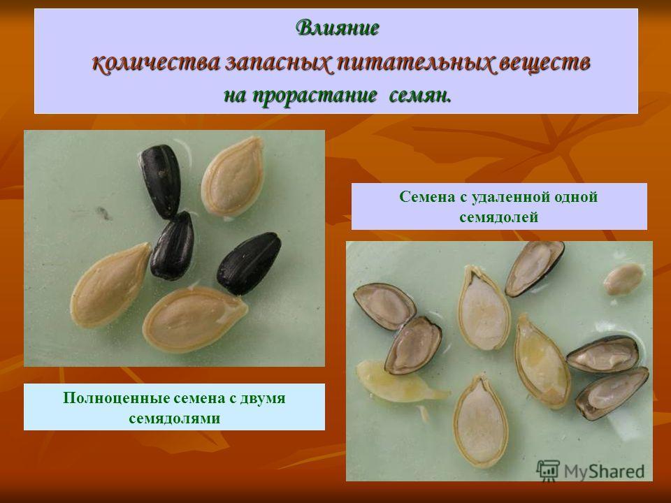 Влияние количества запасных питательных веществ на прорастание семян. Полноценные семена с двумя семядолями Семена с удаленной одной семядолей
