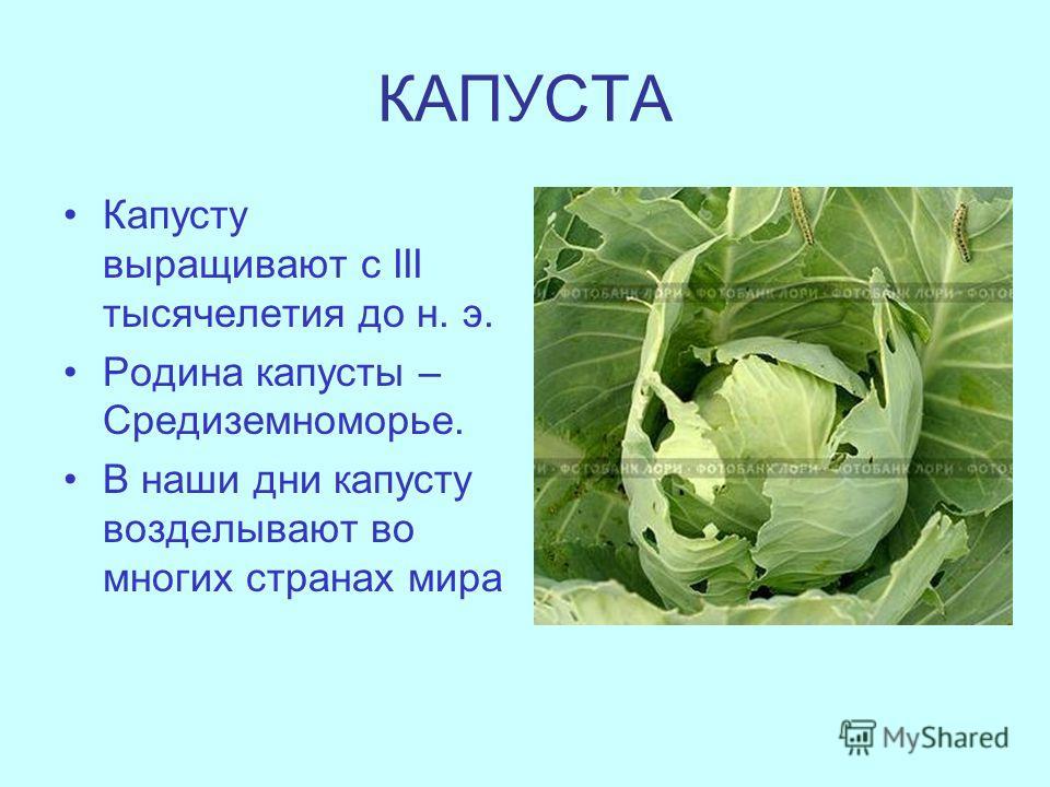 КАПУСТА Капусту выращивают с III тысячелетия до н. э. Родина капусты – Средиземноморье. В наши дни капусту возделывают во многих странах мира
