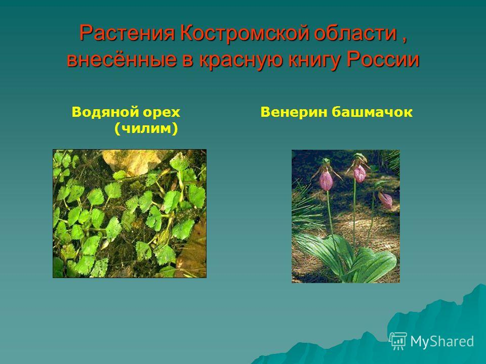 Растения Костромской области, внесённые в красную книгу России Венерин башмачокВодяной орех (чилим)