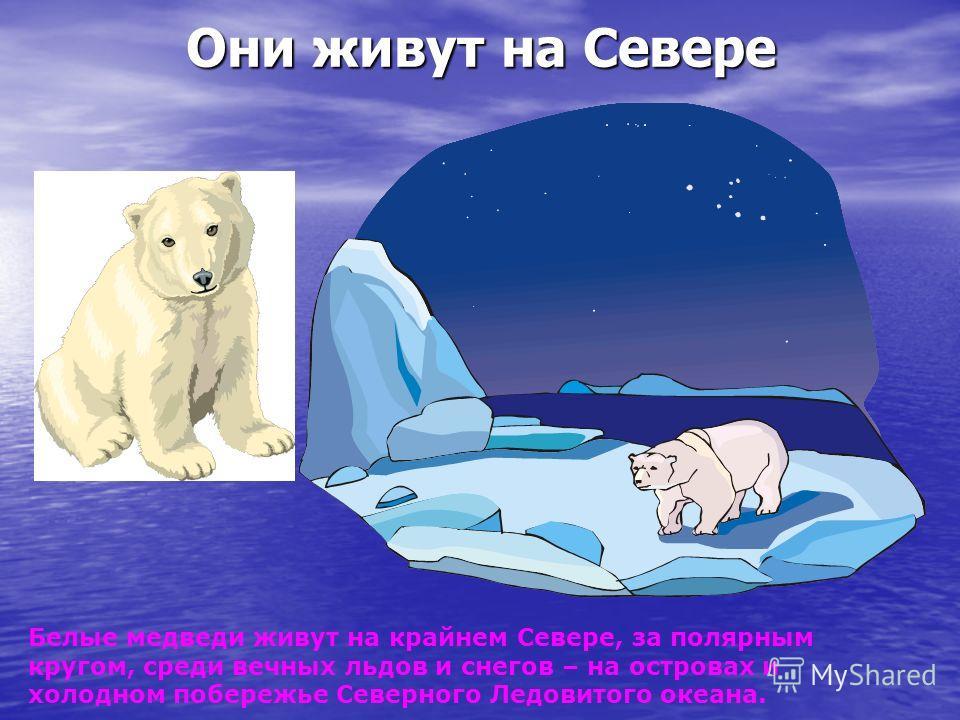 Они живут на Севере Белые медведи живут на крайнем Севере, за полярным кругом, среди вечных льдов и снегов – на островах и холодном побережье Северного Ледовитого океана.