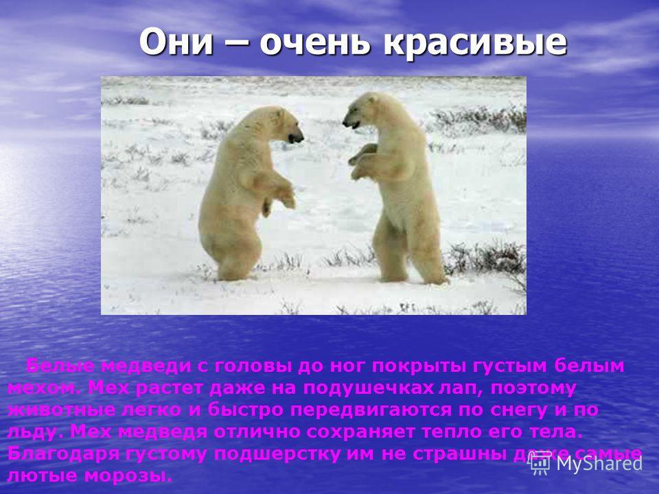 Они – очень красивые Они – очень красивые Белые медведи с головы до ног покрыты густым белым мехом. Мех растет даже на подушечках лап, поэтому животные легко и быстро передвигаются по снегу и по льду. Мех медведя отлично сохраняет тепло его тела. Бла
