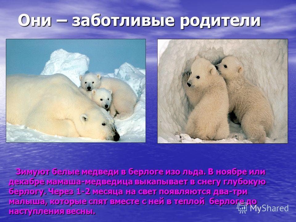 Они – заботливые родители Зимуют белые медведи в берлоге изо льда. В ноябре или Зимуют белые медведи в берлоге изо льда. В ноябре или декабре мамаша-медведица выкапывает в снегу глубокую берлогу. Через 1-2 месяца на свет появляются два-три малыша, ко