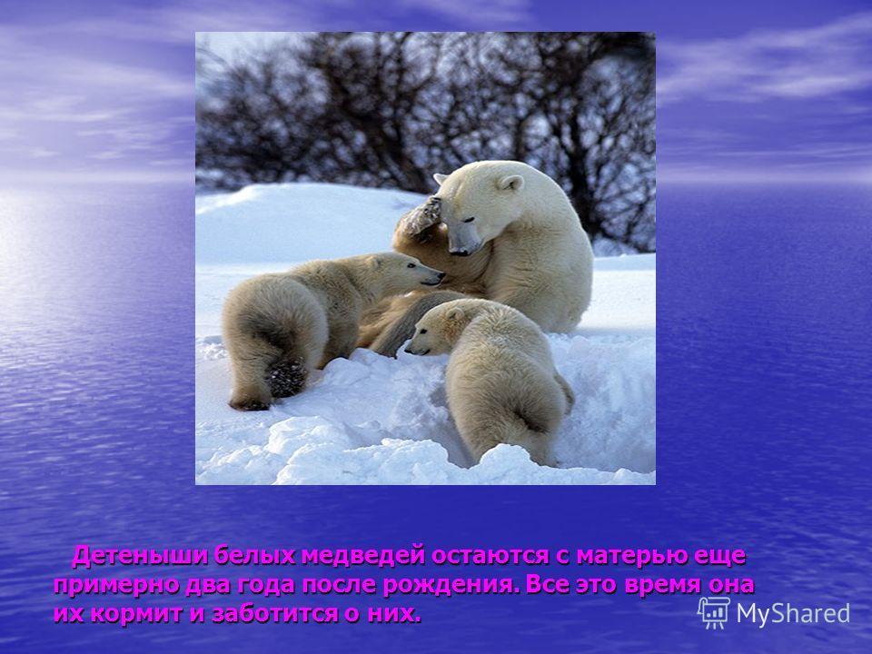 Детеныши белых медведей остаются с матерью еще Детеныши белых медведей остаются с матерью еще примерно два года после рождения. Все это время она их кормит и заботится о них.