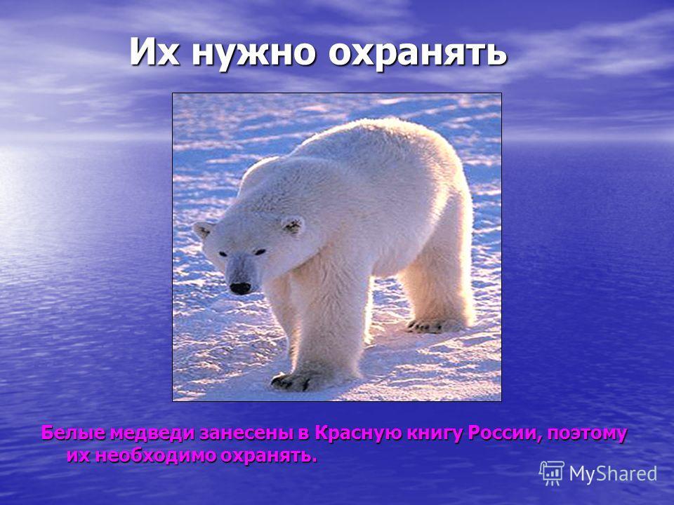 Их нужно охранять Их нужно охранять Белые медведи занесены в Красную книгу России, поэтому их необходимо охранять.