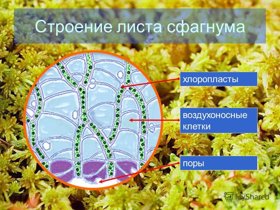 Строение листа сфагнума хлоропластывоздухоносные клетки поры